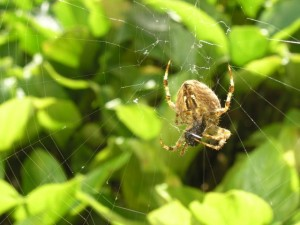 Orb Spider outside my window