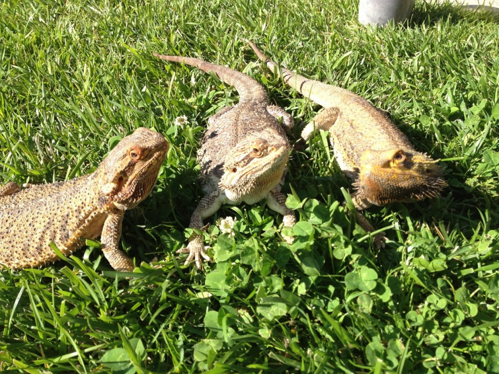 Lazy Days of Summer Lizards
