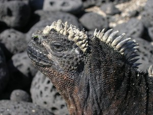 Close Up of a Marine Iguana - Galapagos Islands