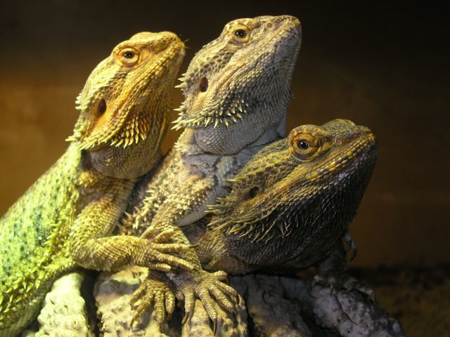 Our Three Bearded Dragon's