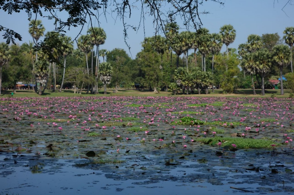 Lotus flower lake, Cambodia