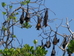 Fruit Bats, Flores, Indonesia 2008