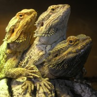 Three Bearded Dragons